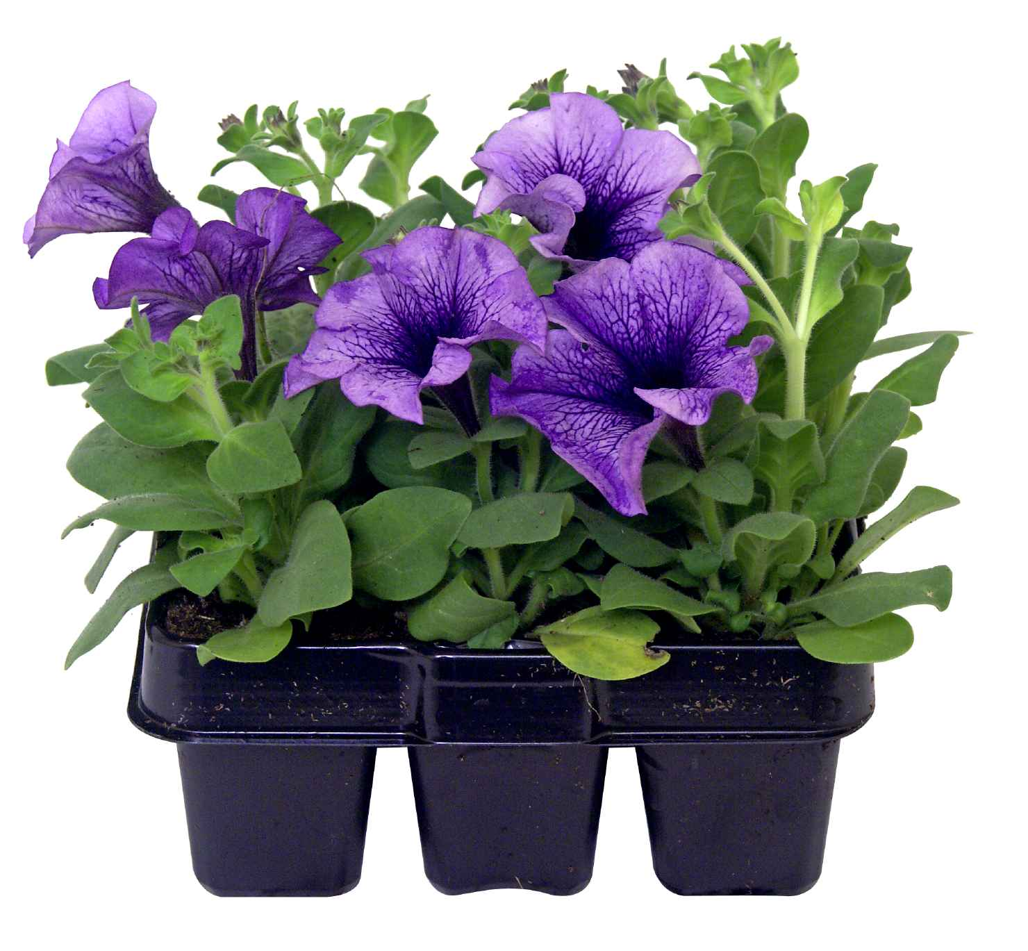 Produktbild på Petunia, blå