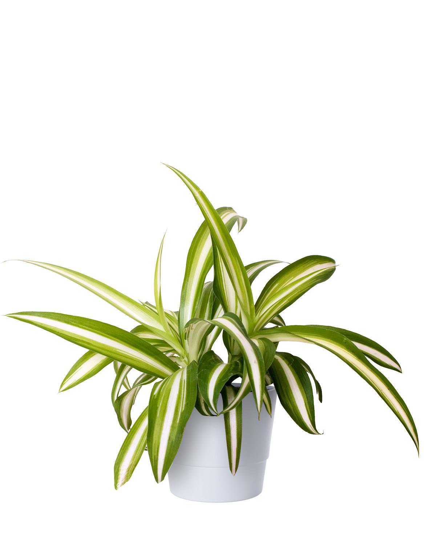 Produktbild på Ampellilja 'Variegatum'