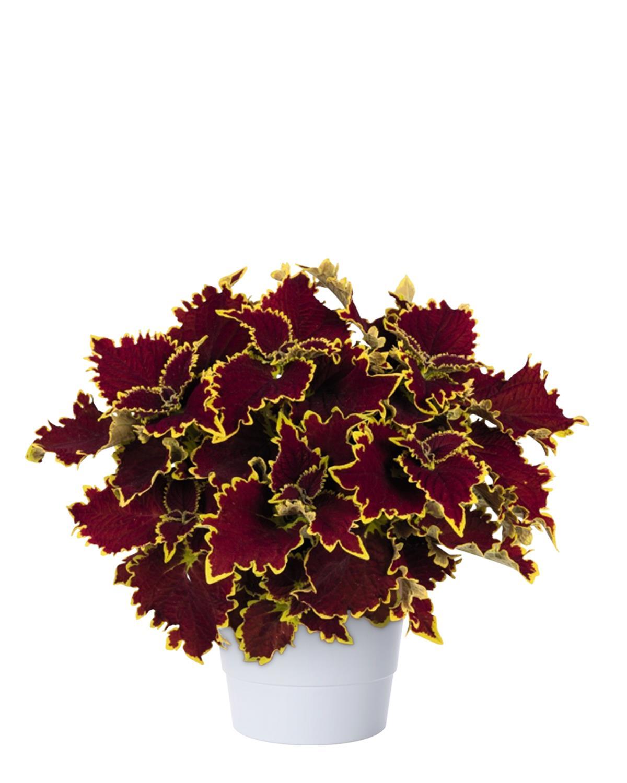 Produktbild på Palettblad 'Crown Jewel'
