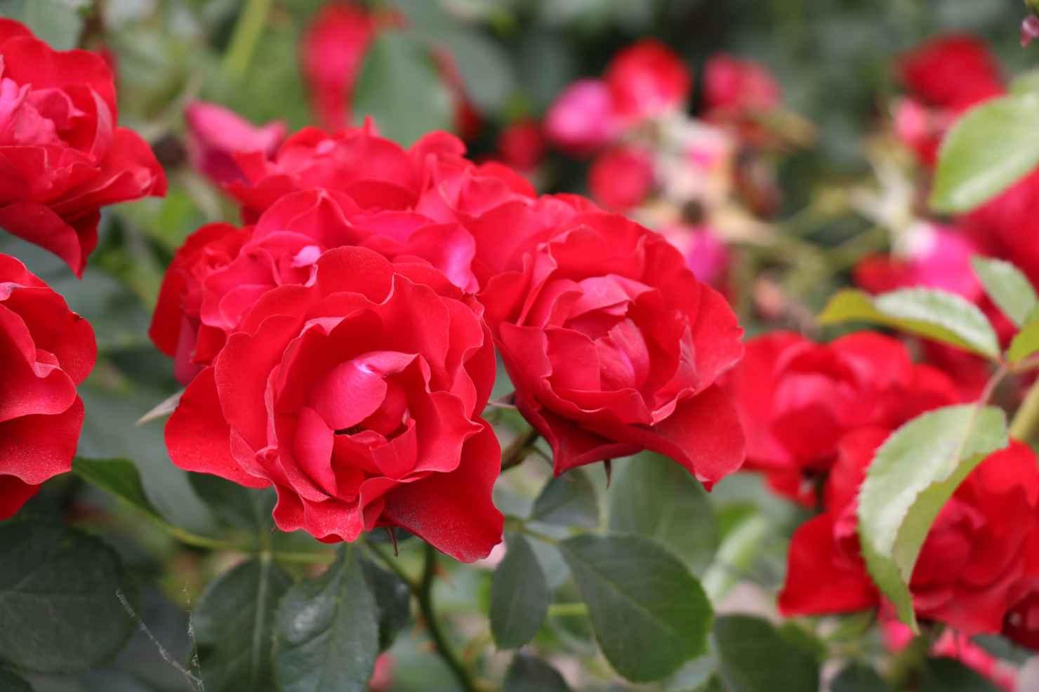 Produktbild på Floribundaros 'Black Forest Rose'