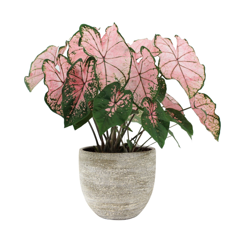 Produktbild på Kaladium 'Pink Splash'