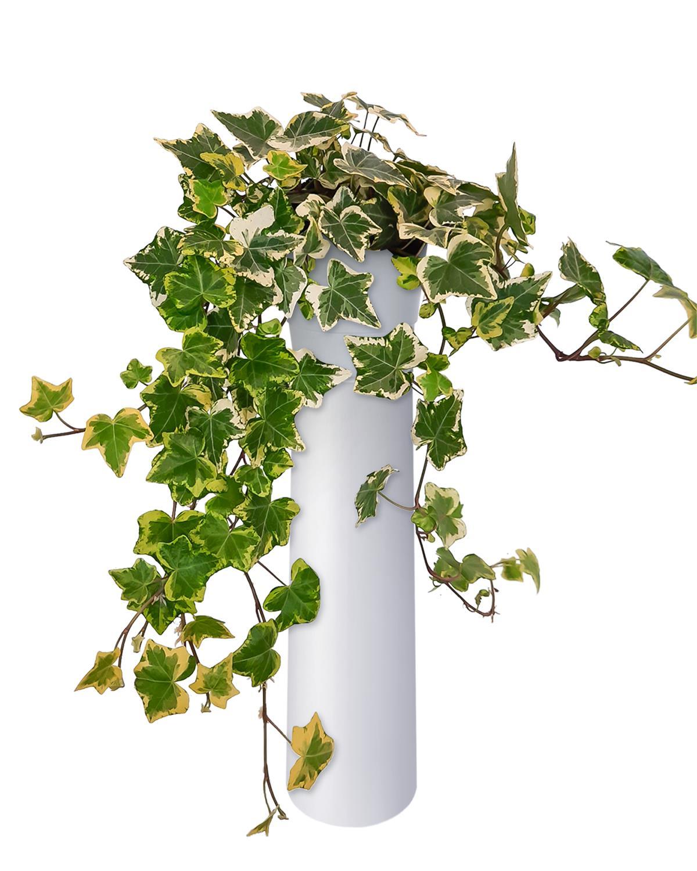 Produktbild på Murgröna 'Goldchild'