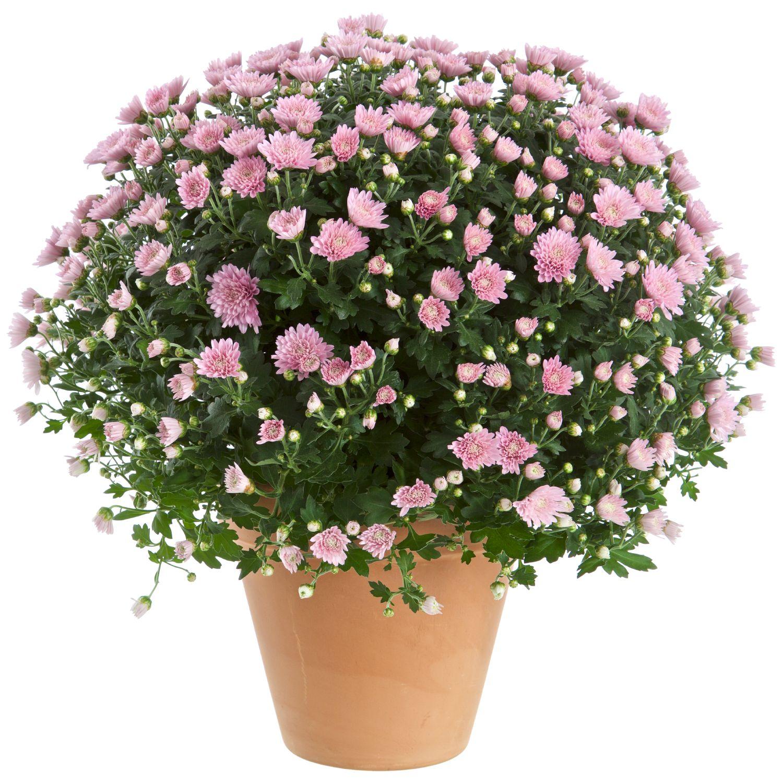 Produktbild på Bollkrysantemum, rosa